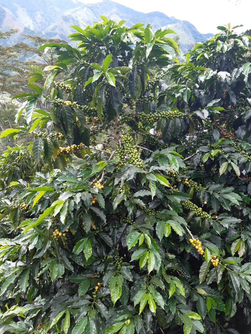Coffee Growing on Eduin's Farm